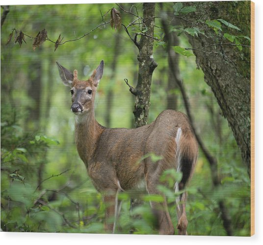 Young White-tailed Deer, Odocoileus Virginianus, With Velvet Antlers Wood Print
