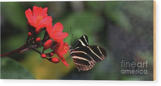 Zebra Longwing Butterfly Wood Print