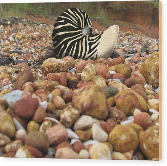 Zebra Nautilus Shell On Bauxite Beach Wood Print