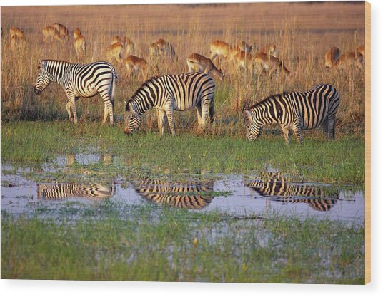 Zebras In Botswana Wood Print