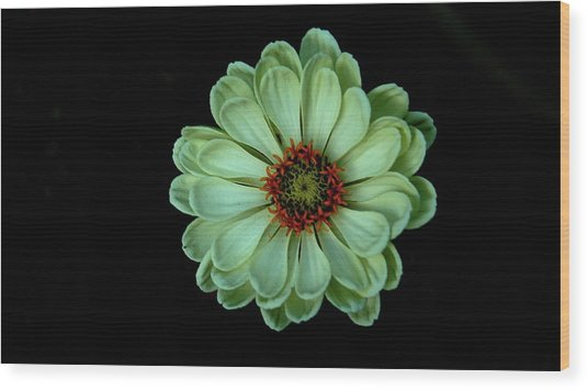 Zinnia Joy Wood Print