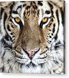 Siberian Tiger Acrylic Prints