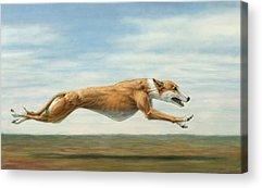 Greyhound Drawings Acrylic Prints