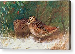Woodcock Acrylic Prints