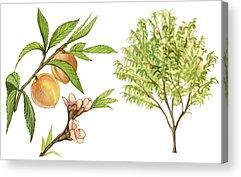 Peaches Drawings Acrylic Prints