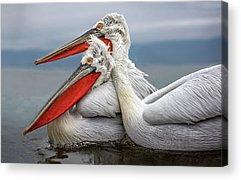 White Pelican Acrylic Prints