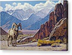 Bighorn Sheep Acrylic Prints