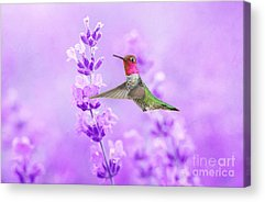 Annas Hummingbird Acrylic Prints