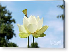 Lotus Seed Acrylic Prints