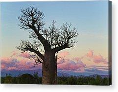 Baobab Acrylic Prints