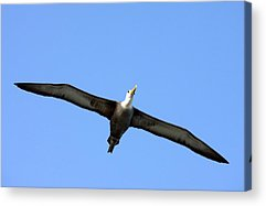 Waved Albatross Acrylic Prints