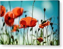 Red Poppies Acrylic Prints