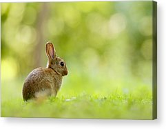 Bunny Rabbit Acrylic Prints