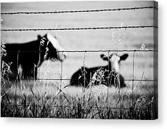 Cow And Calf Acrylic Prints