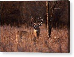 Buck Acrylic Prints