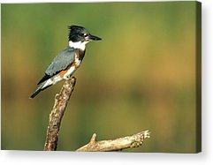 Belted Kingfisher Acrylic Prints