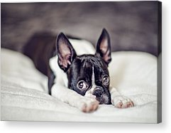 Boston Terrier Acrylic Prints