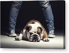 English Bull Dog Acrylic Prints
