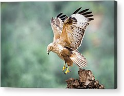 Buzzard Acrylic Prints