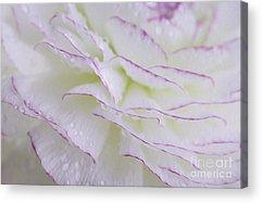 Ranunculus Acrylic Prints