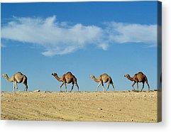 Camel Photographs Acrylic Prints