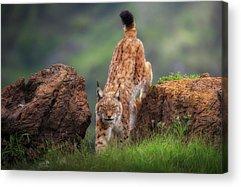 Lynx Acrylic Prints
