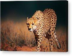 Cheetah Acrylic Prints