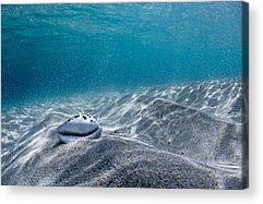 Cowrie Shell Acrylic Prints