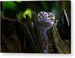 Lizard Acrylic Prints