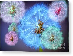 Dandelion Digital Art Acrylic Prints