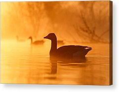 Duck Acrylic Prints