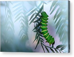 Caterpillar Acrylic Prints