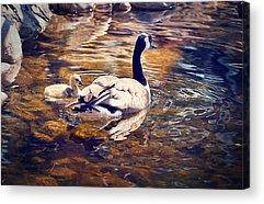 Mother Goose Digital Art Acrylic Prints