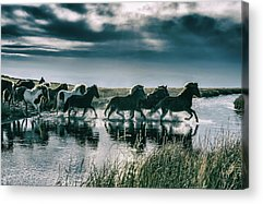 Herd Of Horses Acrylic Prints