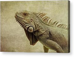 Iguana Acrylic Prints