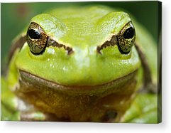 Frogs Photographs Acrylic Prints