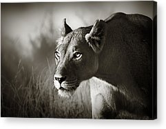 Panthera Acrylic Prints