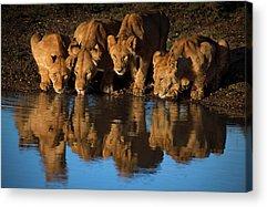 East Africa Photographs Acrylic Prints
