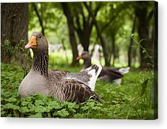 Mother Goose Acrylic Prints