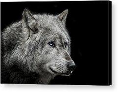 Wolf Photographs Acrylic Prints