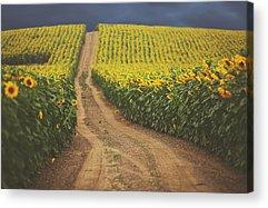 Sunflower Acrylic Prints