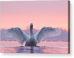 Swans.. Photographs Acrylic Prints