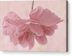 Suspended Pink Poppy Flower Acrylic Prints