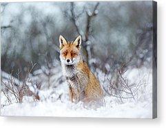 Fox Acrylic Prints