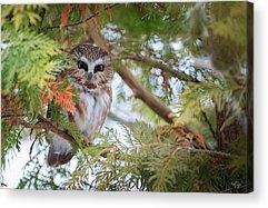 Whet Owl Acrylic Prints