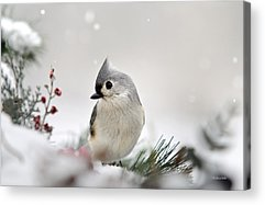 Titmouse Acrylic Prints