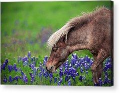 Pony Acrylic Prints