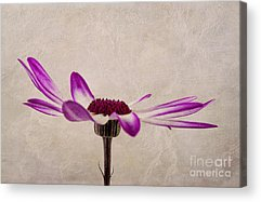 Pericallis Acrylic Prints