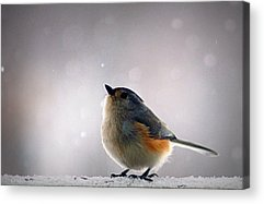 Tufted Titmouse Acrylic Prints