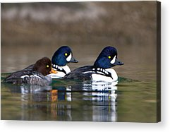 Goldeneye Acrylic Prints